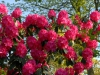 Rhododendron \'Cynthia\'