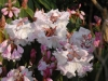 Rhododendron Loderi Group \'Fairyland\'