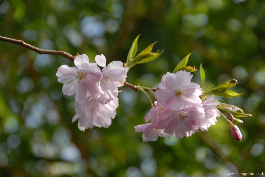 Prunus  'Accolade'