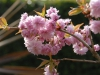 Prunus 'Cheals Weeping'