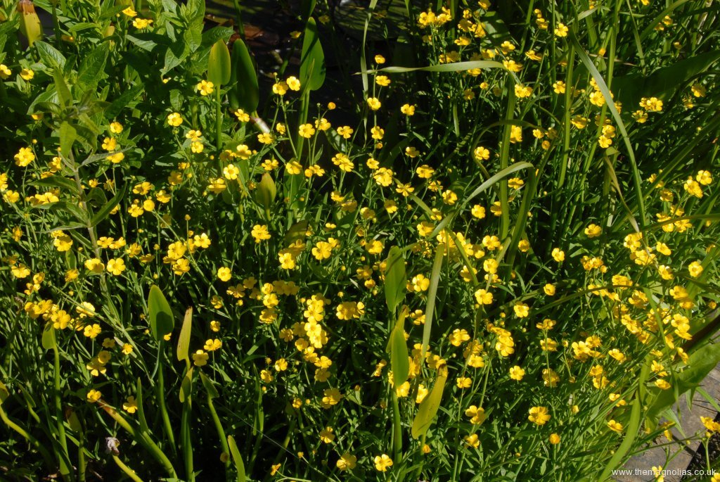Ranunculus flamula
