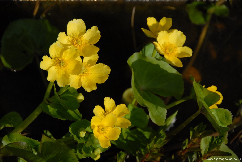 Caltha palustris 'Honeydew'