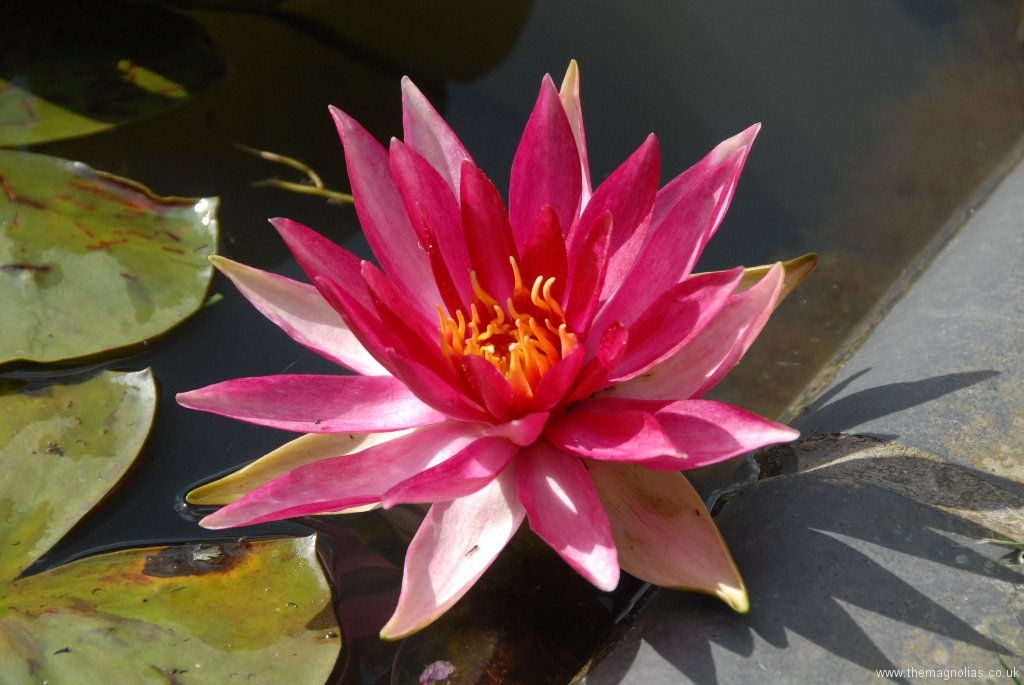 Nymphaea 'Pink Sparkle'