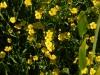 Ranunculus flamula closer