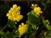 Caltha palustris 'Honeydew'