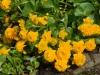 Caltha palustris 'Plena'
