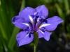 Iris laevigata 'Dorothy'