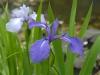 Iris laevigata 'Weymouth Bloe'