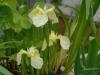 Iris pseudacorus cv
