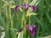 iris-versicolor-kermesena