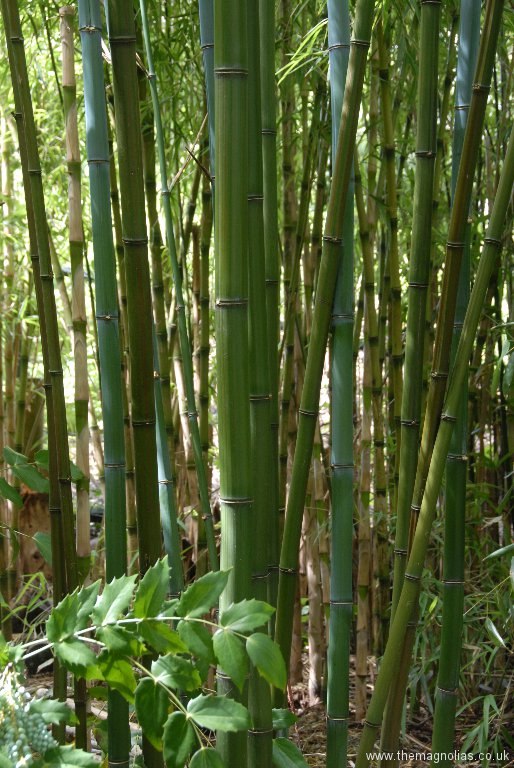 Phyllostachys iridescens blue-gray new canes