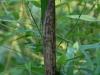 Phyllostachys bambusoides 'Marliacaea'