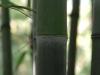 Phyllostachys nigra 'Punctata' new good sized cane