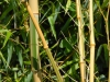 Phyllostachys vivax 'Huanvenzhu Inversa'