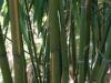 Phyllostachys vivax 'Huangwenzhu'
