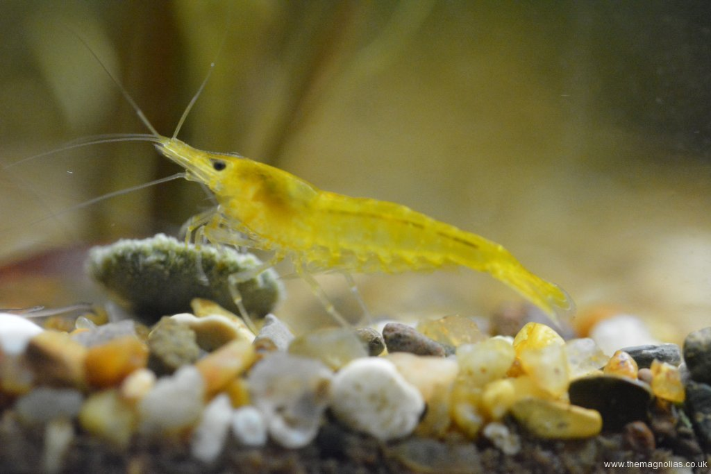 Neocaridina heteropoda yellow