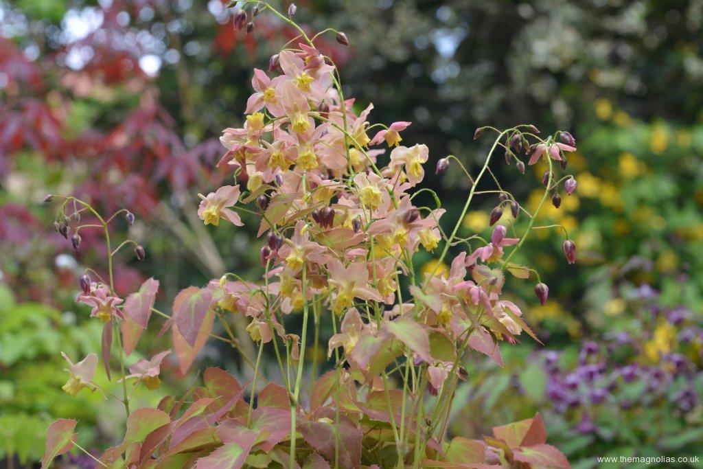 Epimedium x versicolor 'Versicolor'
