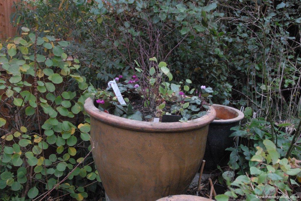 Ex Waterlily Pot