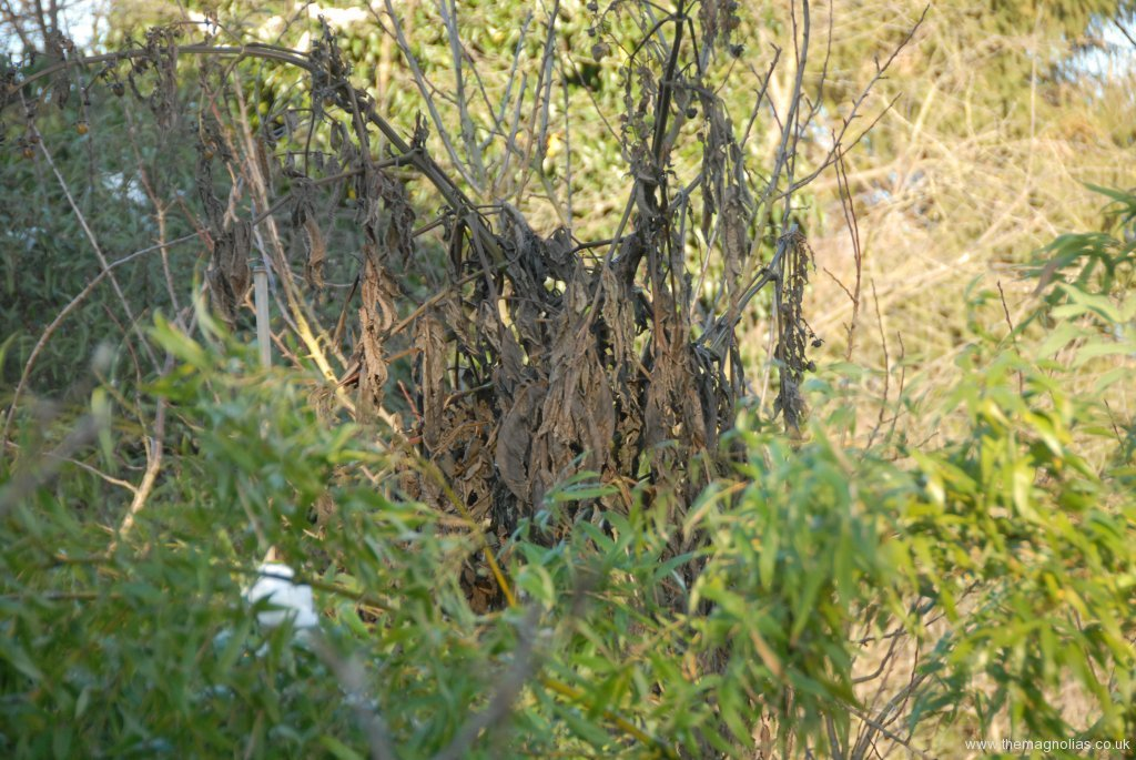 blackened top os tree dahlia