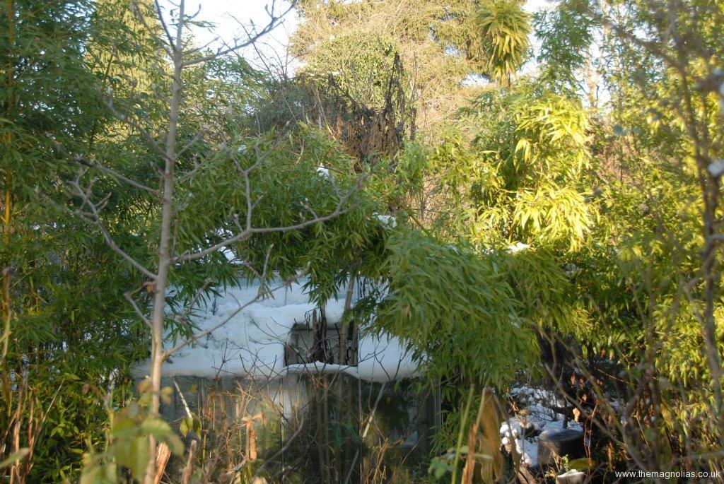 blackened tree dahlia