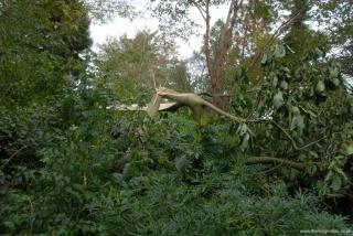 Magnolia 'Royal Crown'