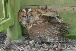 Tawny Owl-under-arbor-seat