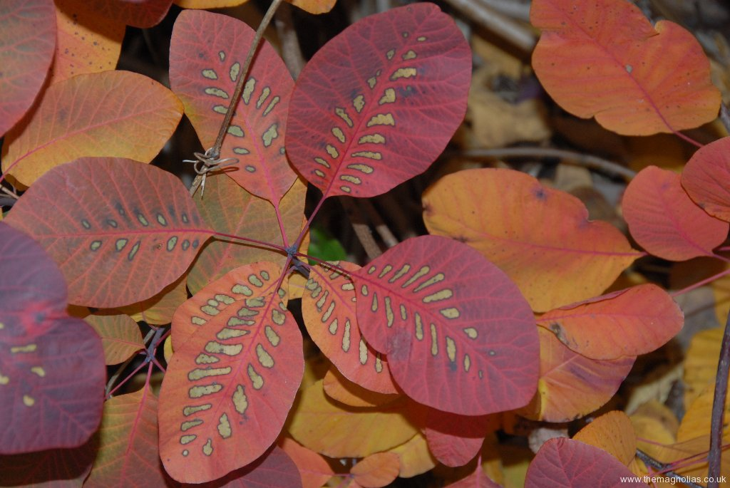 Cotinus 'Grace'