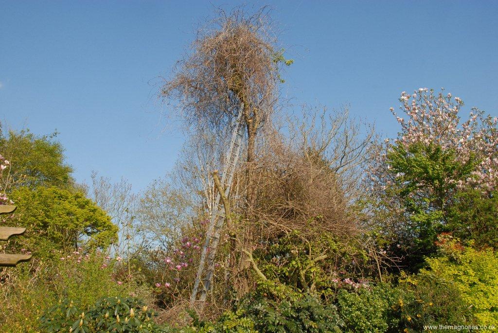 Celastrus on Pear Tree.