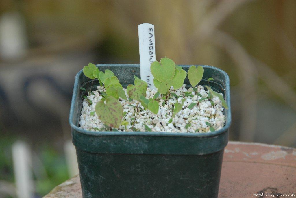 Epimedium Seedlings