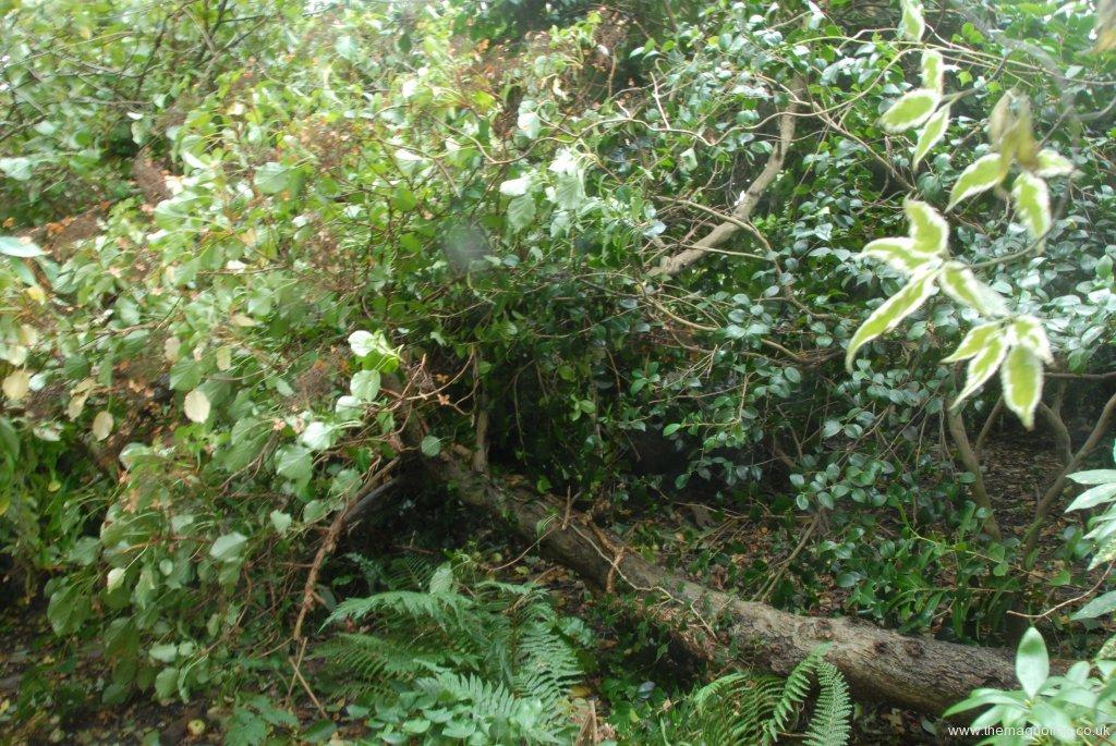 'Monarch' apple and  Hydrangea petiolaris