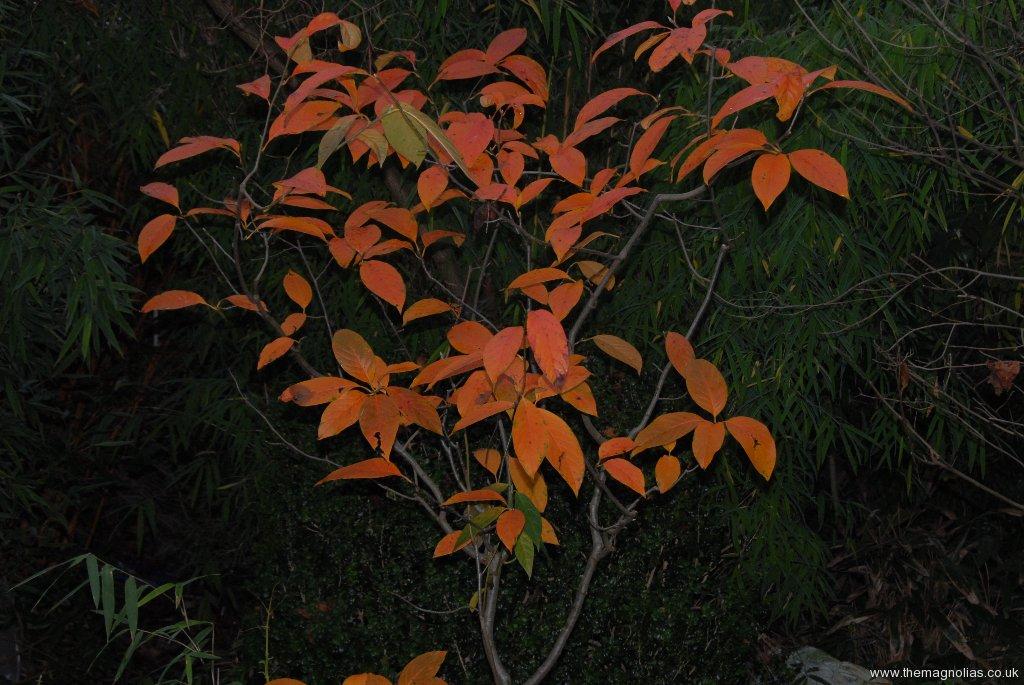 Nyssa sinensis (flash)