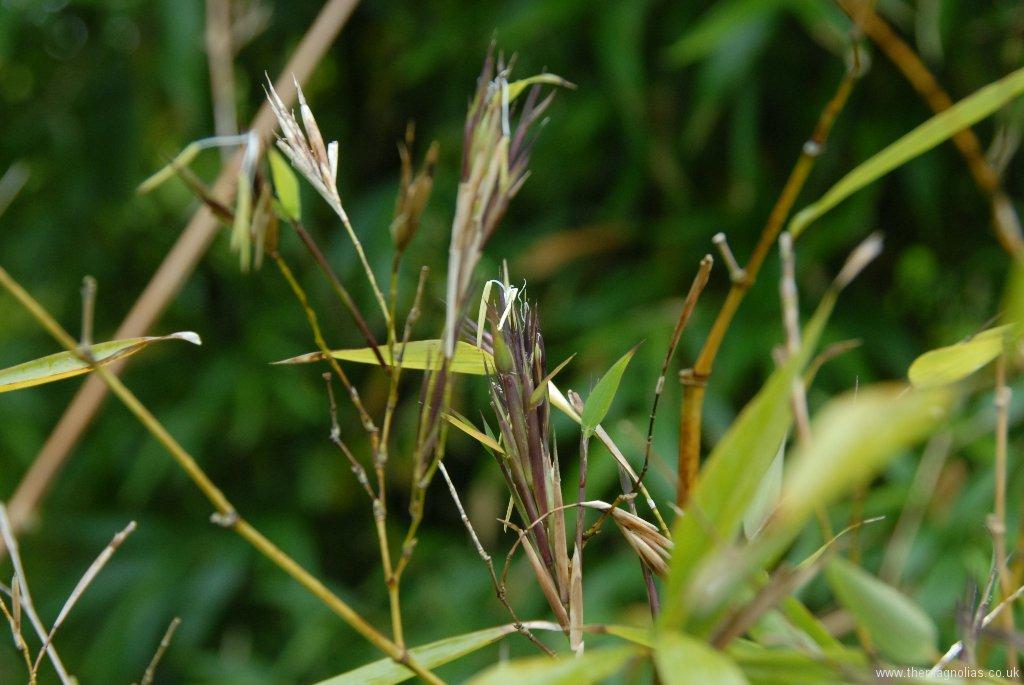 Phyllostachys praecox 'Viridisulcata'