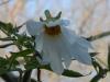 Dahlia imperialis 'Alba'