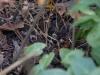 Epimedium x youngianum 'Shikinomai'