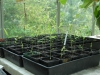 Phyllostachys kwangsiensis seedlings