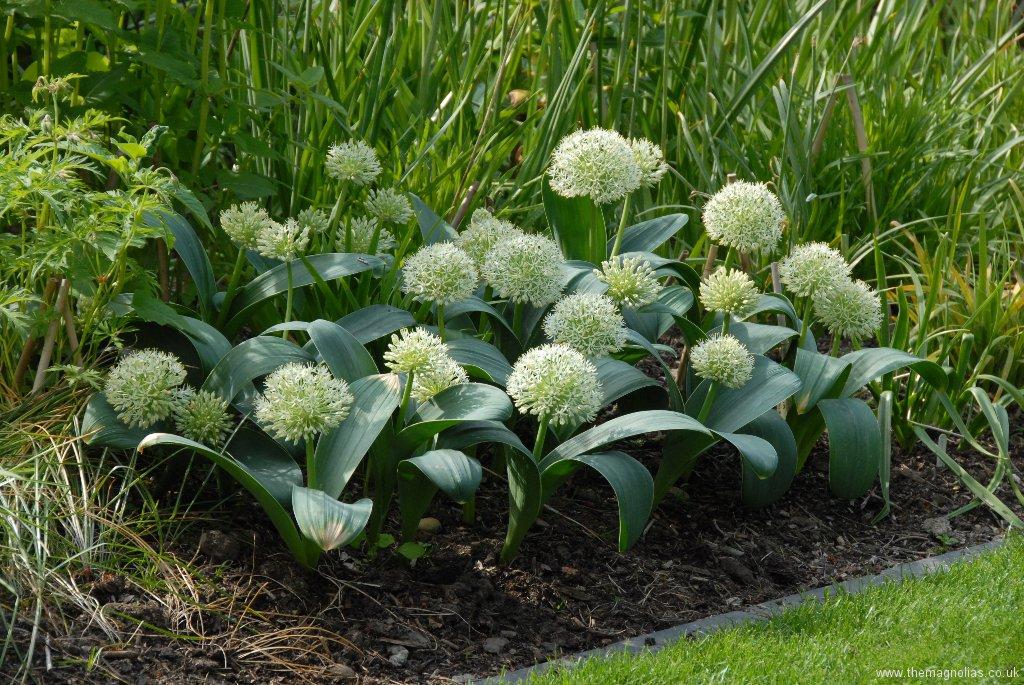 Allium karataviense 'Ivory Queen'