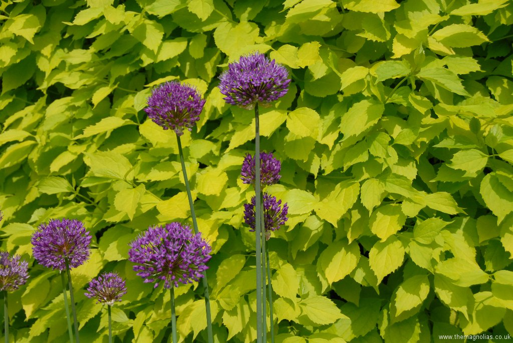 Allium 'Purple Sensation' in front of Philadelphus coronarius 'Aureus'