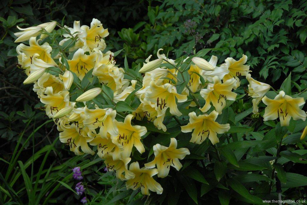 Lilium 'Conca d' Or'
