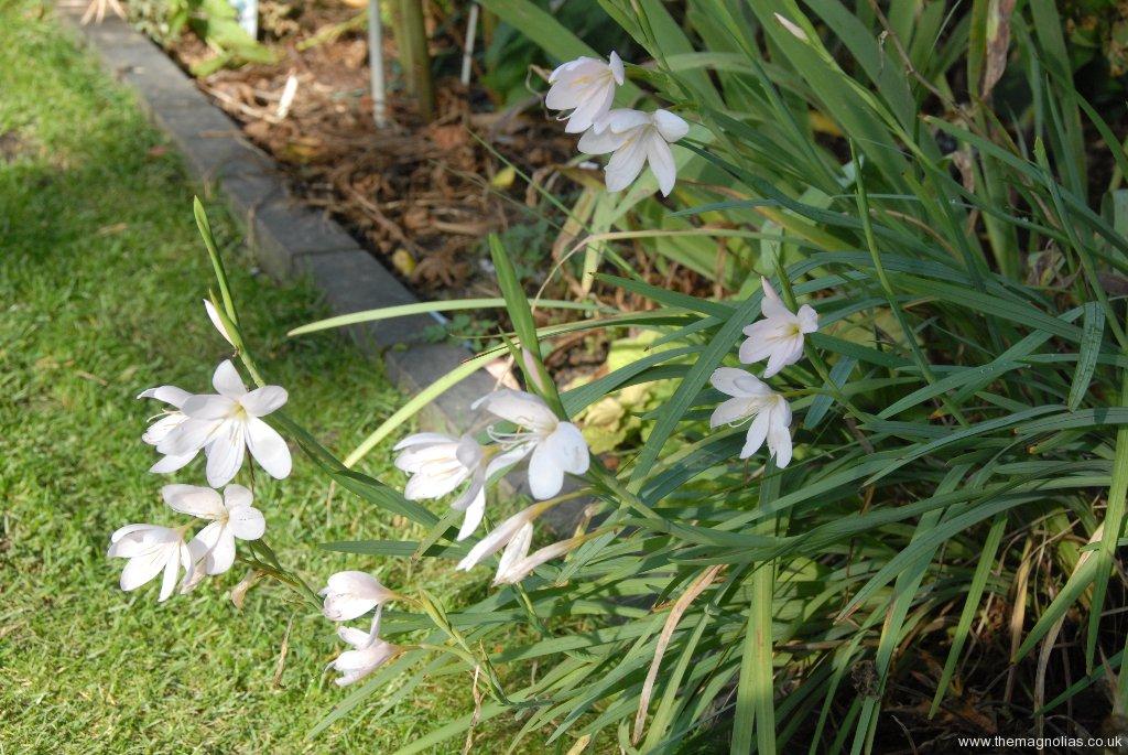 Schizostylis coccinea white c.v.