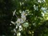 Begonia evansiana alba