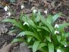Galanthus ikariae
