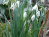 Galanthus nivalis 'Viridapice'