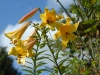 Lilium 'Golden Splendour'