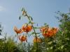 Lilium henryi - deeper orange form