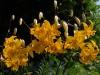 Lilium leichtlinii