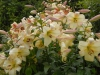Lilium 'tree lily' , bought as 'Conca d' Or'