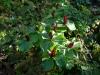 Trillium sessile and Erythronium revolutum