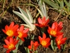 Tulipa kaufmanniana \'Baby Red\'