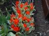 Tulipa praestans \'Unicum\'