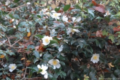Camellias at The Magnolias